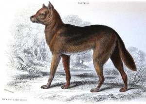 <em>Australia's dingo has been feral for five thousand years.</em>