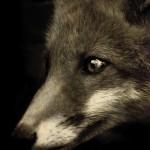 fox vintage