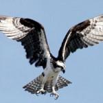 osprey_sm