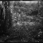 jungle 1899