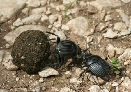 Tumblebugs with ball of dung