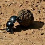 Flightless_Dung_Beetle_Circellium_Bachuss,_Addo_Elephant_National_Park,_South_Africa