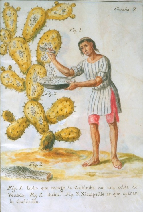Cochineal harvesting