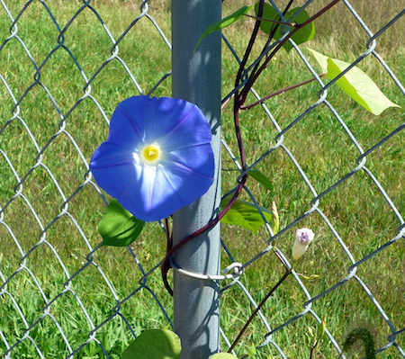 Blue-Morning-Glory-September-2013-2