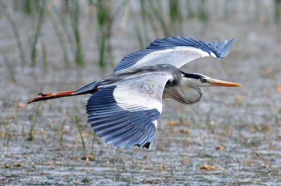 Heron-Grey