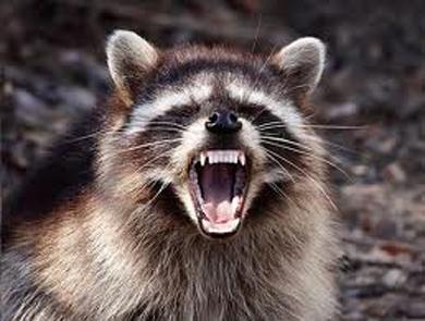 raccoons_womanc