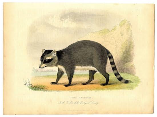 raccoon+vintage+image--graphicsfairy005bsm