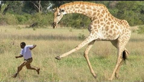 giraffe-attack