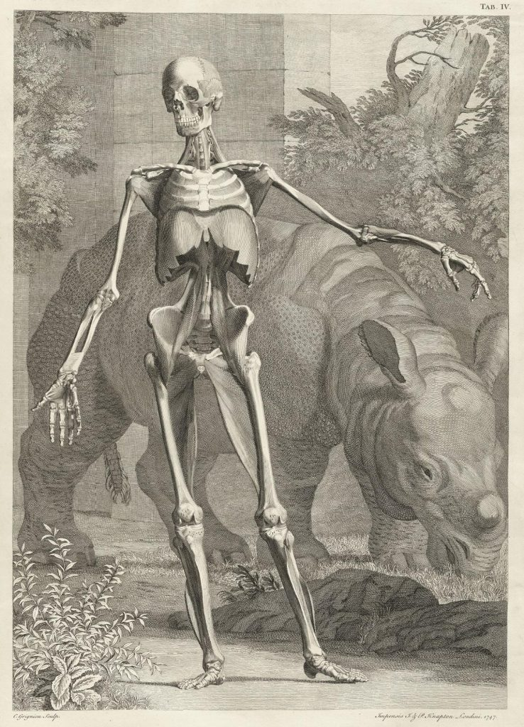 Engraved image of human skeleton with musculature, standing erect with arms spread, while a rhinoceros eats grass behind, with stone facade and foliage in background.