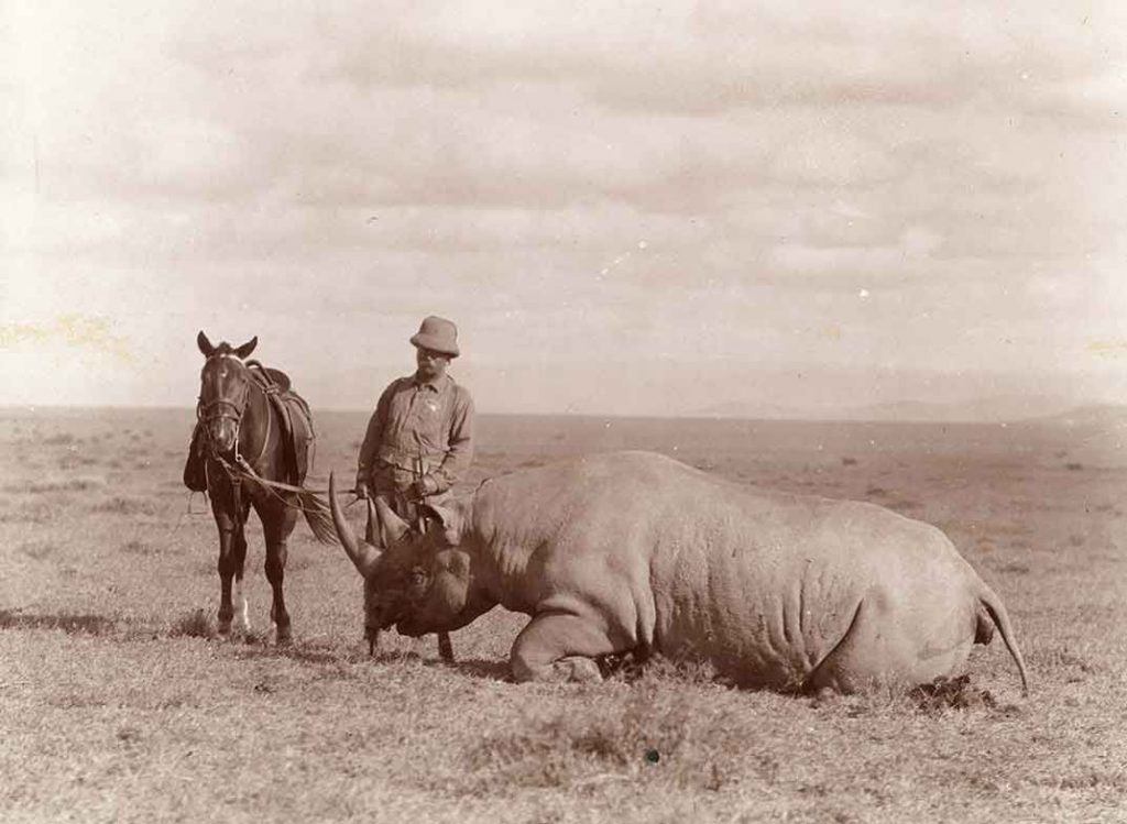 Teddy Roosevelt in pith helmet, holding horse by the reins, both standing next to a large white rhino in prone position.