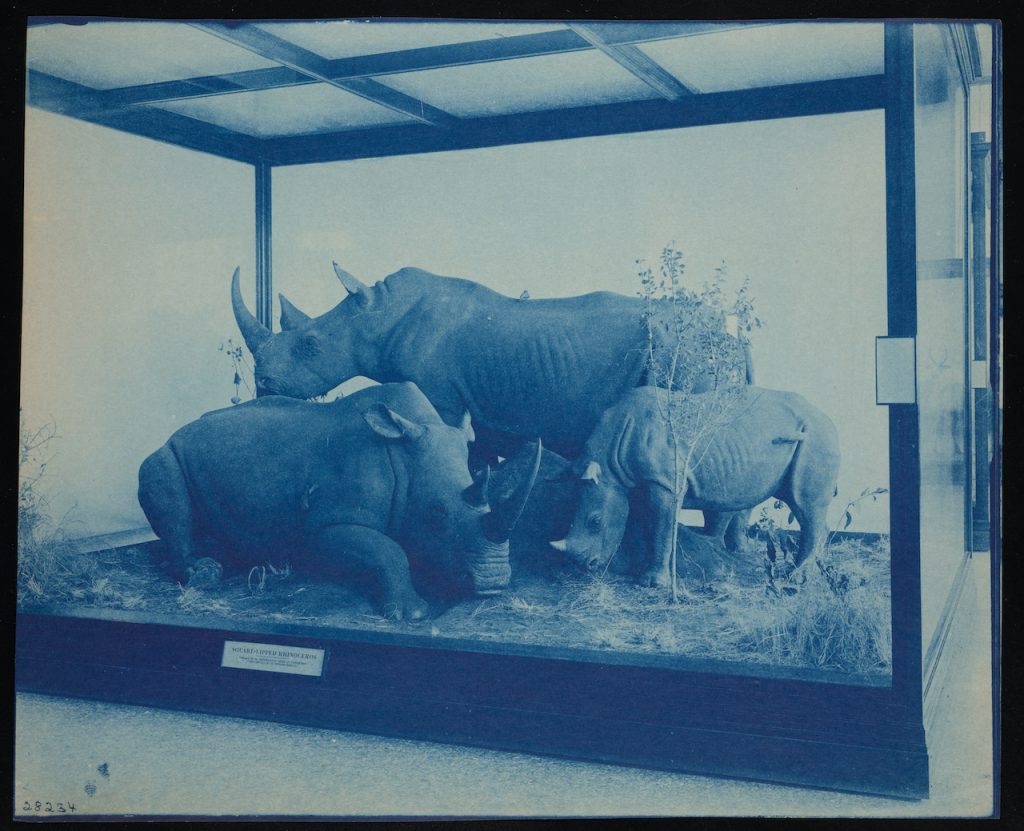 Group of three rhinoceros taxidermied, posed within a glass case.
